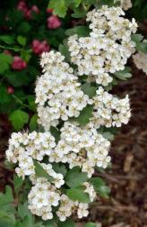 Crataegus laevigata_English Hawthorni_HudsonGardens-CO_LAH_5815-001