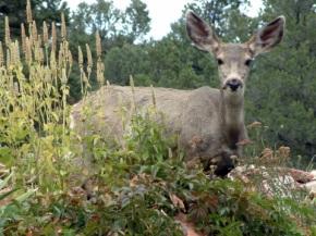 deer eating garden @GleneyrieCS,CO 2002oct6 LAH 143