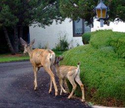 Deer in driveway@ColoSpgs LAH 368
