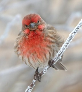 House Finch_LaVeta-CO_LAH_2316_filtered