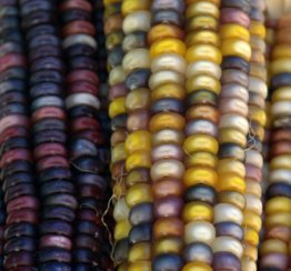 Indian Corn_DBG-CO_LAH_9050