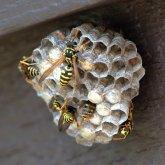Paper wasp nest_FCNC_LAH_5435