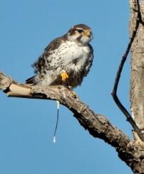 Prairie Falcon_LasVegasNWR-NM_LAH_8845