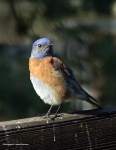 Western Bluebird @home 2008jun03 LAH 015rr