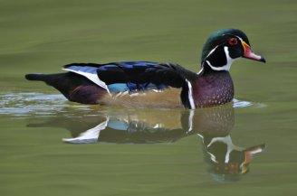 Wood Duck_PuebloCityPark-CO_LAH_6882_filtered