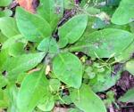 13 aggie-horticulture.tamu.edu William C Welch-001