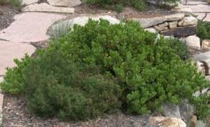Arctostaphylos x coloradensis_Mock Bearberry Manzanita_CarnegieLib-CoSpgsCO_LAH_9993