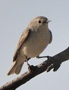 Gray Vireo_Agua Caliente-Tucson_LAH_9200_filtered-001