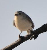 Gray Vireo_Agua Caliente-Tucson_LAH_9209-001