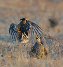 Greater Prairie Chicken_Wray - CO_LAH_8011