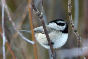 Mountain Chickadee_StForestStPark-CO_Mountain Chickadee_StForestStPark-CO_LAH_0278