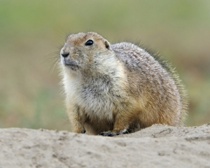 Prairie Dog_6038_filtered