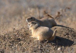 Prairie Dogs_RockyMtnArsenalNWR-CO_LAH_8063