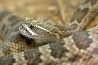 Prairie Rattlesnake_Crotalus viridis_DesertMuseum-TucsonAZ_20100512_LAH_2343