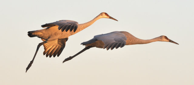 Sandhill Cranes_BosquedelApacheNWR-NM_LAH_7632-002