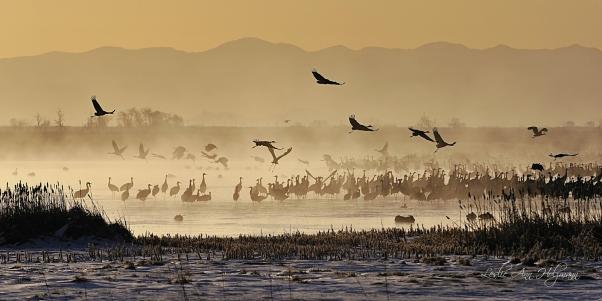 10 x 20 Sandhill Cranes Dawn