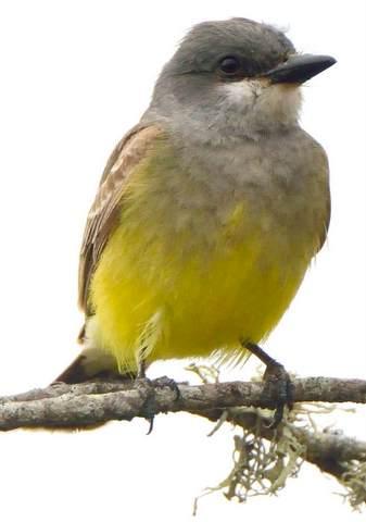 Cassin's Kingbird_MorroBay-CA_LAH_0229-002