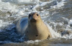 Elephant Seal_SanSimeon-CA_LAH_0017