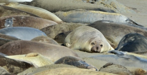 Elephant Seal_SanSimeon-CA_LAH_9895