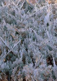 Juniperus horizontalis 'Blue Chip'_DBG_LAH_4016
