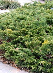 Juniperus sabina 'Monna'_Calgary Carpet Juniper_DBG_LAH_4004