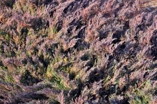 Juniperus sp_XG_20091215_LAH_5580