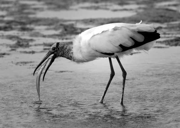 Wood Stork_DingDarlingNWR-FL_LAH_6529_filtered