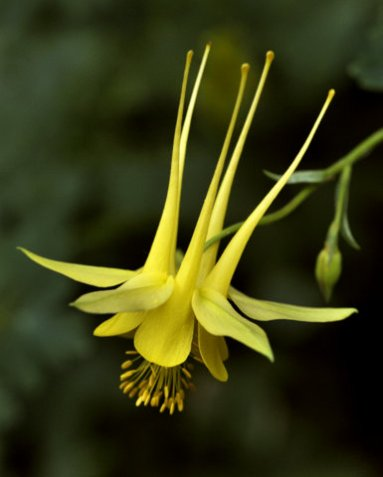 Yellow Columbine (Aquilegia chrysantha)