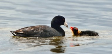 American Coot babies_MonteVistaNWR-CO_LAH_2851