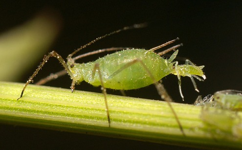 Aphid-giving-birth MedievalRich at the English language Wikipedia