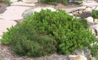 Arctostaphylos x coloradensis_Mock Bearberry Manzanita_CarnegieLib-CoSpgsCO_LAH_9993-001