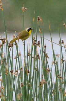 Common Yellowthroat_RussellLakesSWA-CO_LAH_1537f