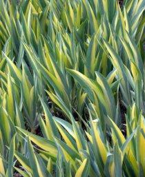Iris pallida 'Variegata'_DBG_20100417_LAH_2747