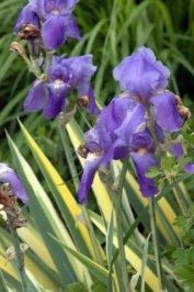 Iris pallida_DBG_LAH_0971