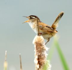 Marsh Wren_MonteVistaNWR-CO_LAH_2980