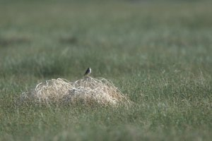 Savannah Sparrow_SanLuisSP-CO_LAH_2191
