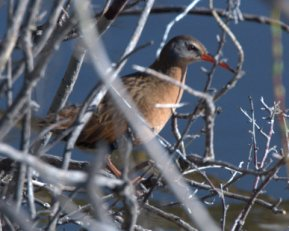 Virginia Rail_HaydenMeadows-LakeCo-CO_LAH_1868