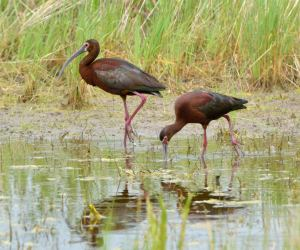 White-faced Ibis_AlamosaNWR-CO_LAH_2653