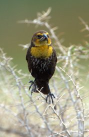 Yellow-headed Blackbird_AlamosaNWR-CO_LAH_2521