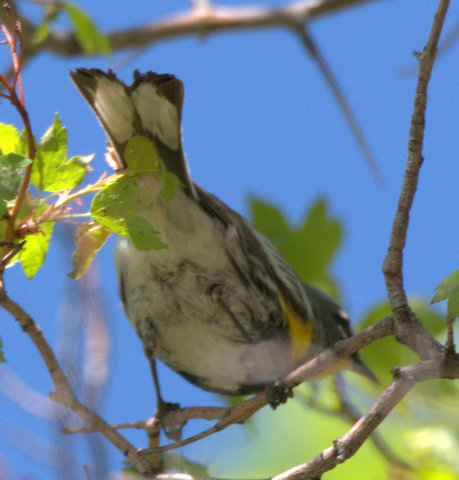 Yellow-rumped Warbler_Durango-CO_LAH_2344