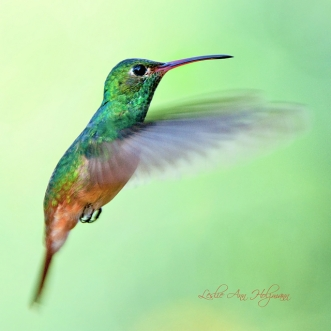 5x5 Buff-bellied Hummingbird_1314pf