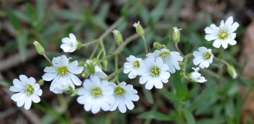 Cerastium strictum, Mouse-ear Chickweed
