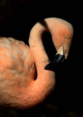 Chilean Flamingo_DenverZoo_20091007_LAH_3652