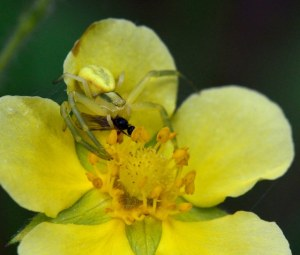 Crab spider with fly_Emerald Valley-EPC-CO_LAH_3655