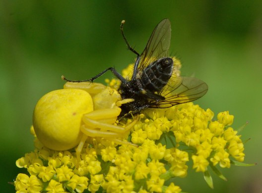 Cymopterus lemmonii_Mountain Parsley_Emerald Valley-EPC-CO_LAH_3686