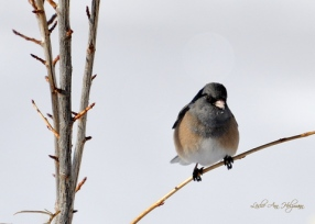 Dark-eyed Junco_LaVetaCO_LAH_0139c5x7