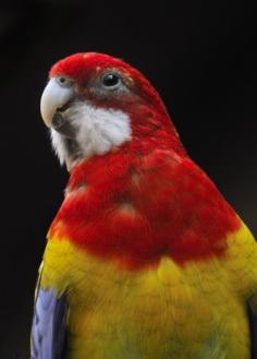 Eastern Rosella Parrot_CheyenneMtnZoo-CO_LAH_4110