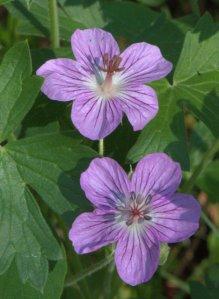 Geranium caespitosum_Parry Geranium_Emerald Valley-EPC-CO_LAH_3305
