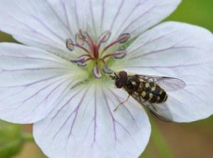 Geranium richardsonii_Emerald Valley-EPC-CO_LAH_3407