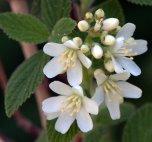 Jamesia americana_Waxflower_XG-CoSpgsCO_LAH_9502